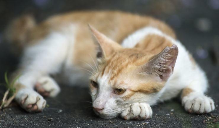 Kattenziekte: Feline infectieuze enteritis